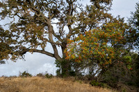 Close View of Valley Oak (Quercus lobata) with Toyon (Heteromeles arbutifolia)