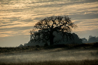 Lone Valley Oak with Morning Mist