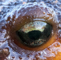The Eye of the Newt