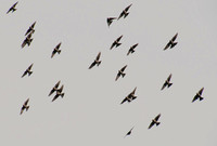 Flock of Sparrows