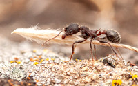 Harvester Ant (Messor andrei) with Grass Seed -- Side View