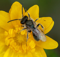 *Bee on Flower of California Buttercup (Ranunculus californicus) (Closer)
