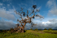 *Ancient Valley Oak with Mistletoe (2)