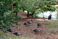 Wild Turkeys at our Home