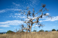 """Phainopepla Tree"" with Clouds"