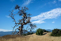 """Phainopepla Tree"" with Clouds (3)"