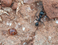 Harvester Ant (Messor andrei) with Carpenter Ant (?) (Camponotus spp.) Head