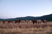Horses in Sierra Valley at Dusk