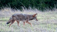 Coyote Traverse