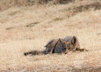 Coyote Crouches
