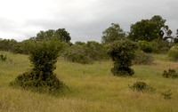 Natural Topiary: Evidence of Deer Herbivory on Coast Live Oak