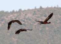 White-faced Ibis (Plegadis chihi) in Flight
