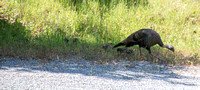 Wild Turkey (Meleagris gallopavo) with Chicks