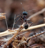 Harvester Ant (Messor andrei) Climbing