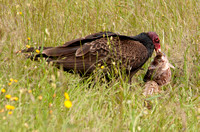 Turkey Vulture (Cathartes aura) with Fish