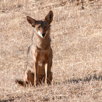 Young Coyote, Frog Pond Meadow