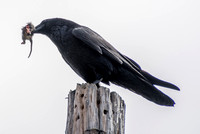 Crow with Quarry on Pole