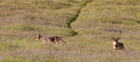 Coyote Pair Hunting(Canis latrans)