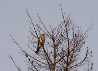 Red-shouldered Hawk (Buteo lineatus)?