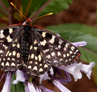 5/18/2011 Butterfly on Yerba Santa
