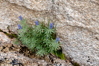 Lupine with Granite