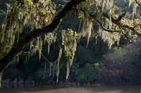 California Spanish Moss (Ramalinda menziesii) near Searsville Lake