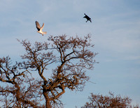 American Crow attacks White-tailed Kite