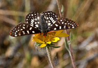 Chalcedona Checkerspot Butterfly