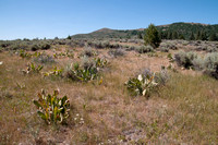 Mule Ears, Sierra Valley