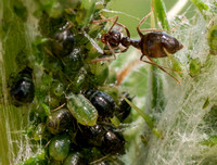 Prenolepis Ant Tends Aphids on Thistle