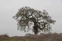 Lonely Valley Oak (Quercus lobata)