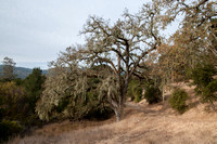 Stressed Valley Oak