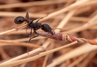 Harvester Ant (Messor andrei) with Twisted Seed