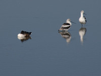 Resting Northern Shoveler (Anas clypeata) with two American Avocets (Recurvirostra americana)