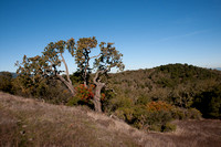 Panorama with Valley Oak & Toyon