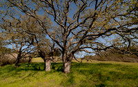 Valley Oaks (Quercus lobata)