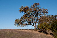 Valley Oak (Quercus Lobata) and Toyon (Heteromeles arbutifolia) on Ridge