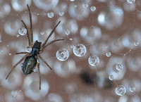 10/11/2011 Spiders in Dew
