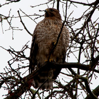 Coopers Hawk (Accipiter cooperi) at Portola Valley Ranch