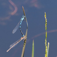 Mating Blue Dragonflies