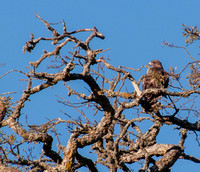 Red-tailed Hawk (Buteo jamaicensis) in Valley Oak (Quercus lobata)