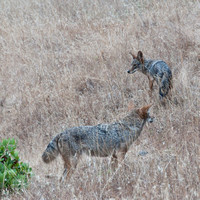 Two Coyotes (Canis latrans)