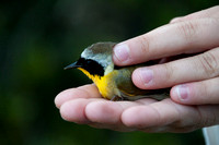 Common Yellowthroat (Geothlypis trichas) Ready for Release