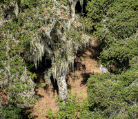 Great Blue Heron, Live Oak, Lace Lichen