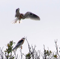 Young White-tailed Kite (Elanus leucurus) lands near Another
