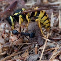 7/22/2010 Macros: Wasp & Harvester Ants, Winged Male Ants, Grasshopper