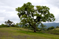 Valley Oak (Quercus lobata) at Jasper Ridge