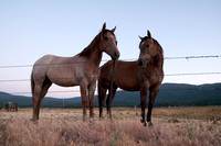 Two Horses in Sierra Valley