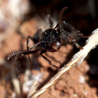 Harvester Ant (Messor andrei) Faces the Camera