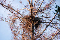Nest of Red-tailed Hawk